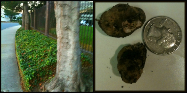 Check out the truffles Rico found, right in his own neighborhood!