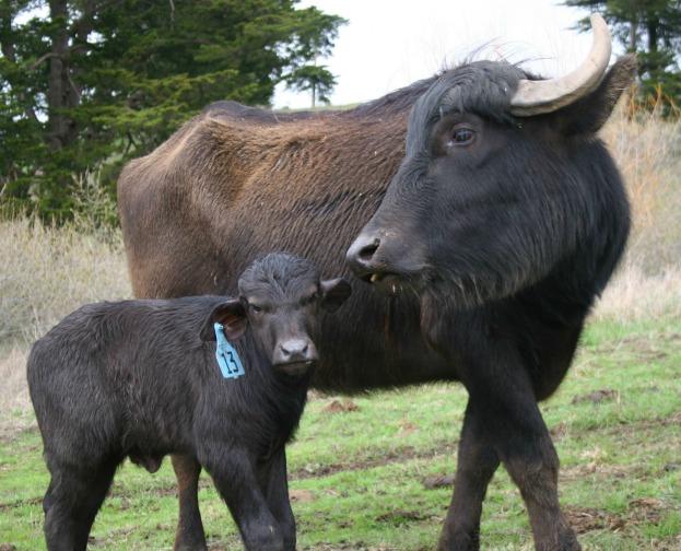 Mom & Grumpy Baby Calf
