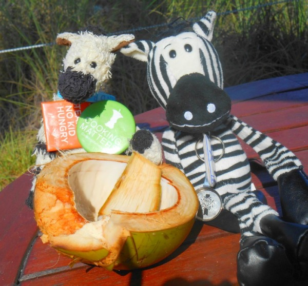 Two Zebras Sharing Coconut with Spoon